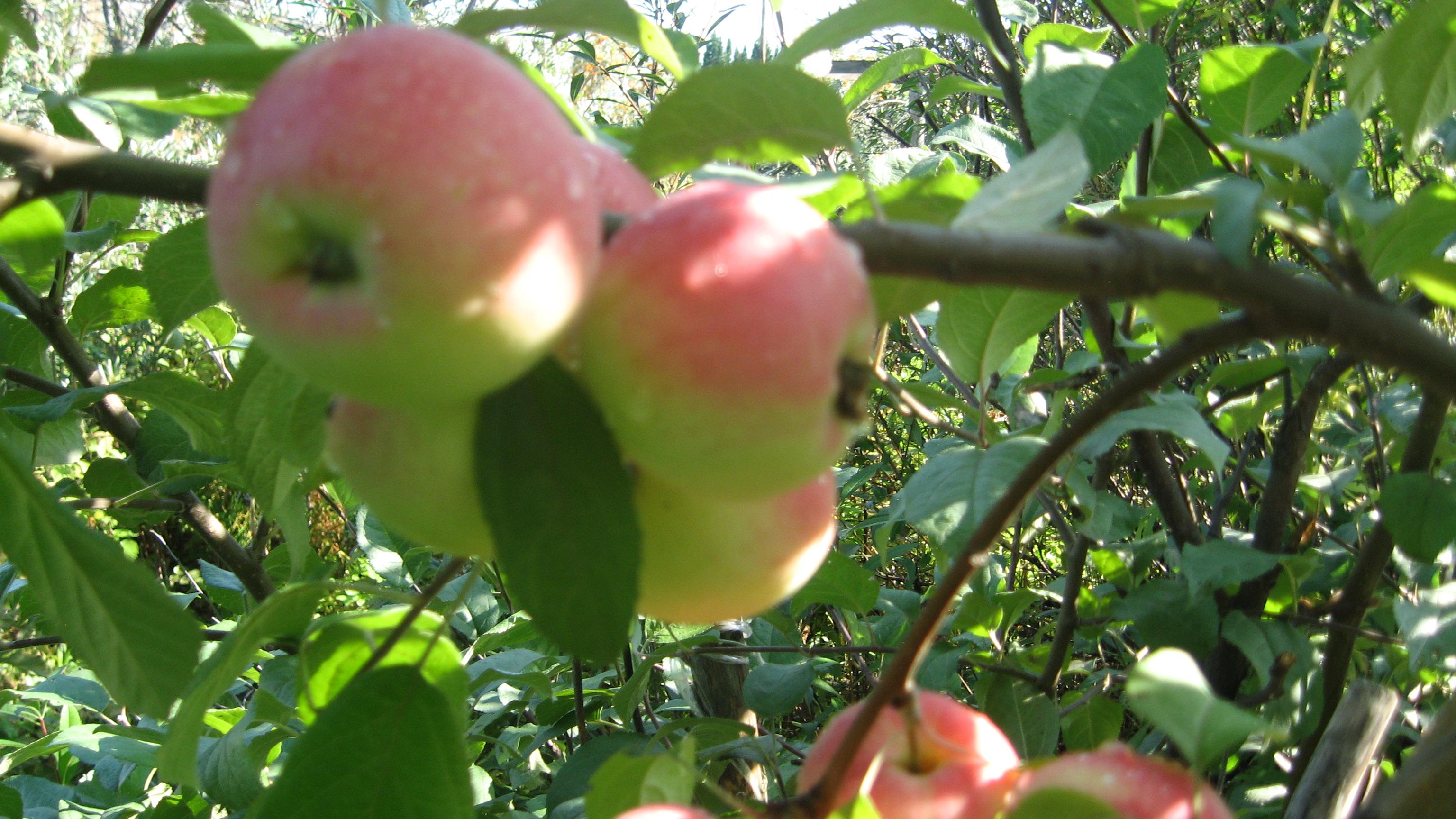 Яблоня подарок садоводам описание сорта фото отзывы 6